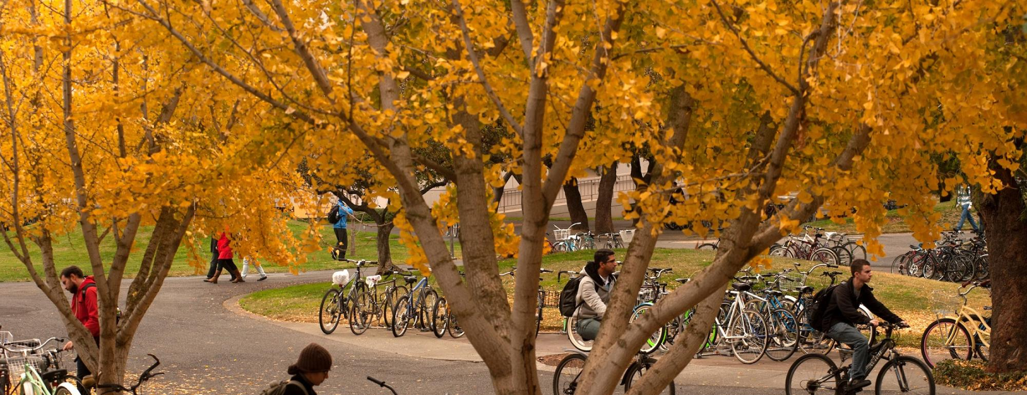 trees with fall yellow leaves and students on bikes